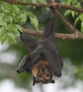 Spectacled Flying Fox (Bat), Australia