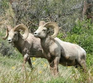 Big Horn Sheep, Rocky Mtn. Nat'l. Park, Colorado