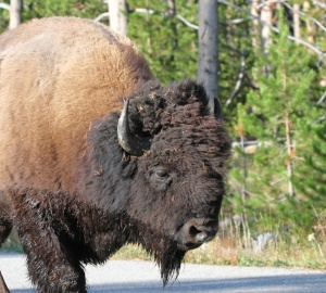 Bison Bull, Yellowstone, WY, USA