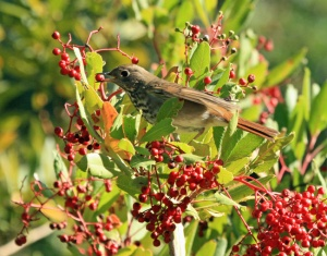 Hermit Thrush on Toyon