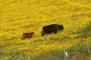 Cows, Wildflowers, Carrizo Plains, CA