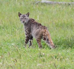 Bobcat, California
