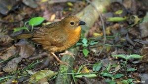 Dusky Antbird, Belize