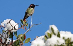 Anna's Hummingbird, Northern California