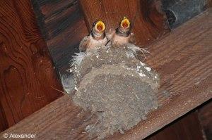 Barn swallow nestlings, Pierce Point Ranch, Pt. Reyes