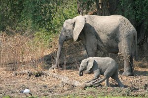 African elephant adult and calf, Zambia